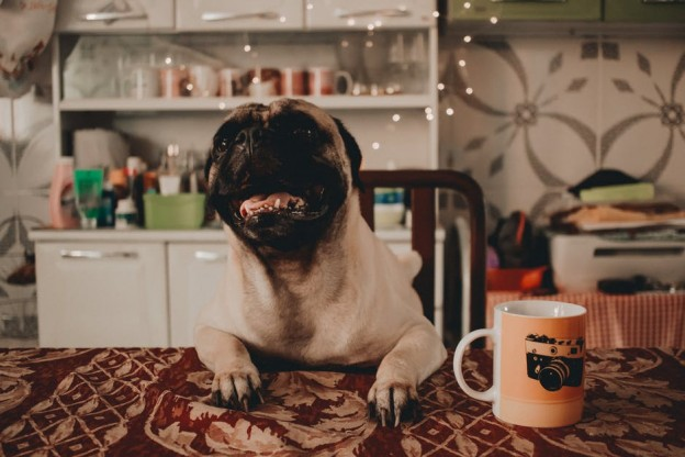 pug-with-a-mug-pet-friendly-bb